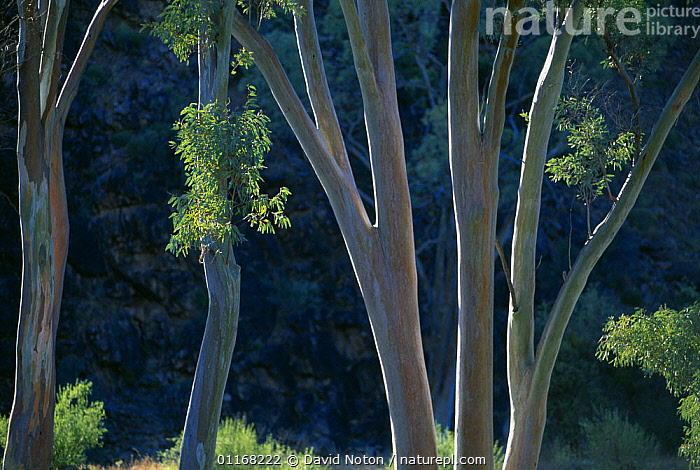 Eucalyptus trees, Flinders Ranges National Park, Australia  ,  AUSTRALIA,BRANCHES,RESERVE,TREES,TRUNKS,WOODLANDS,Plants  ,  David Noton