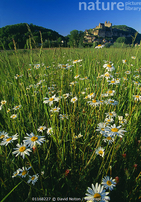 Daisies in a field with the chateau of Beynac-et-Cazerac beyond, Dordogne Valley, Perigord, France  ,  BUILDINGS,EUROPE,FIELDS,FLOWERS,GRASSES,HILLS,LANDSCAPES,VERTICAL  ,  David Noton