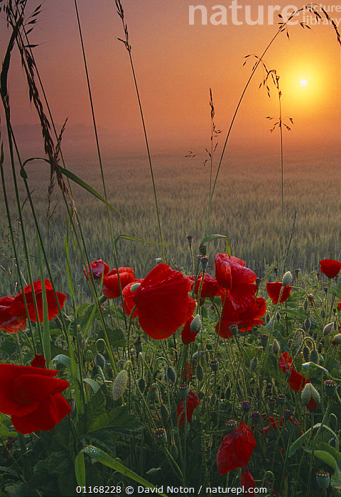 Poppies growing in a field of barley at dawn, Flanders, France  ,  ATMOSPHERIC,EUROPE,FLOWERS,GRASSES,LANDSCAPES,POPPY,SUNRISE,VERTICAL  ,  David Noton
