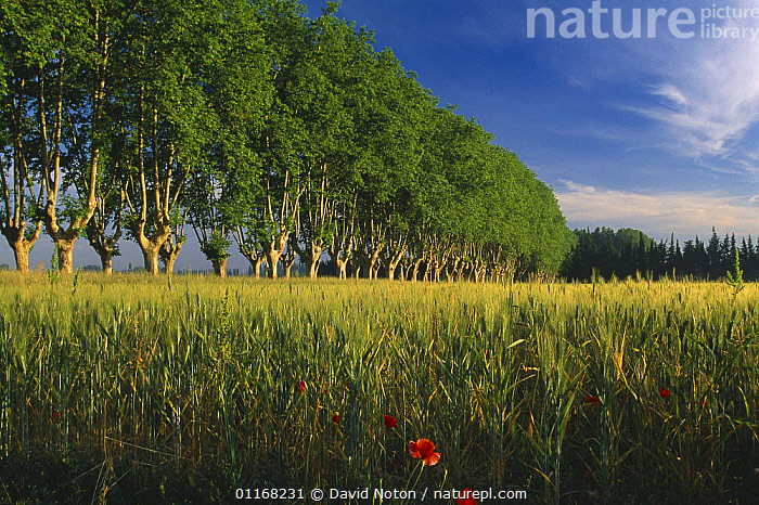 Avenue of trees with barley field and poppies, nr St Remy de Provence, Provence, France  ,  EUROPE,FARMLAND,FIELDS,FRANCE,LANDSCAPES,POPPIES,TREES,Plants  ,  David Noton