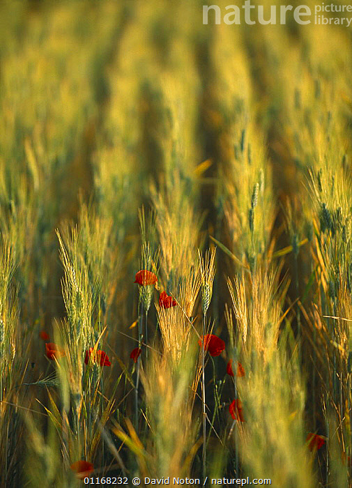 Field of barley with poppies, Provence, France  ,  ARTY,CROPS,EUROPE,FLOWERS,FRANCE,POPPY,ROWS,VERTICAL  ,  David Noton