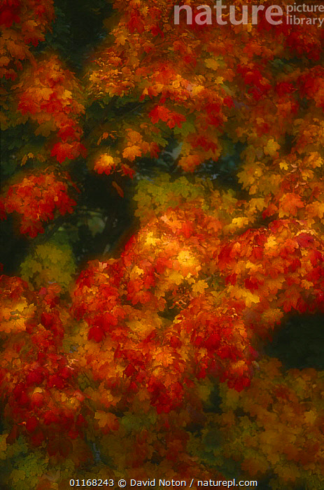 Autumn colours, Germany  ,  ARTY,AUTUMN,COLOURFUL,EUROPE,LEAVES,ORANGE,RED,TREES,VERTICAL,Plants  ,  David Noton