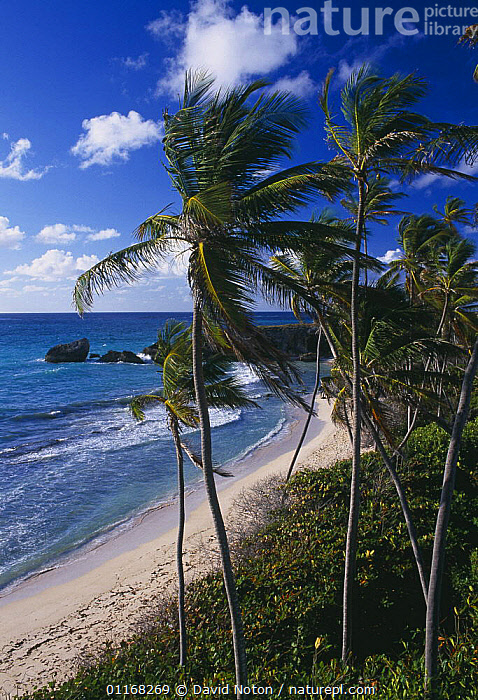 Harrismith beach, South East Coast, Barbados  ,  BEACHES,CARIBBEAN,CLOUDS,COASTS,LANDSCAPES,PALMS,TREES,VERTICAL,WAVES,WIND,West Indies,Weather,Plants,LESSER ANTILLES  ,  David Noton