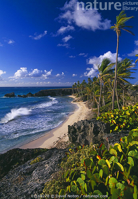 Harrismith beach, South East Coast, Barbados  ,  BEACHES,CARIBBEAN,COASTS,LANDSCAPES,PALMS,VERTICAL,WAVES,WIND,West Indies,Weather,LESSER ANTILLES  ,  David Noton