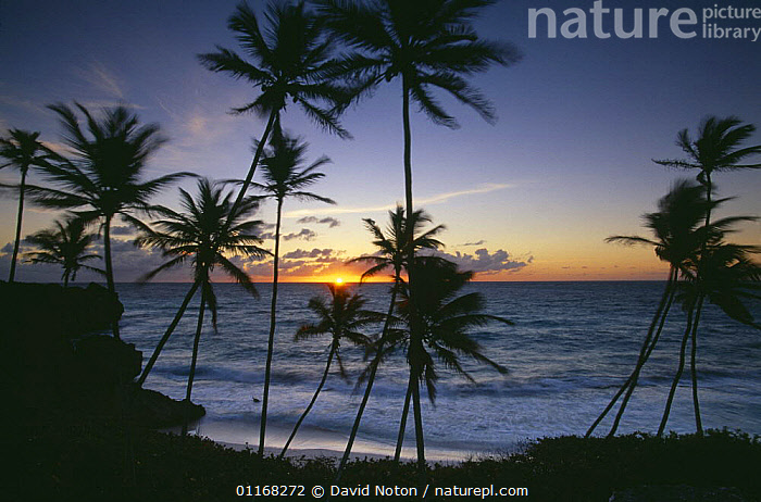 Dawn at Harrismith beach, South East Coast, Barbados  ,  BEACHES,CARIBBEAN,COASTS,LANDSCAPES,PALMS,SILHOUETTES,SUNRISE,TREES,West Indies,Plants,LESSER ANTILLES  ,  David Noton
