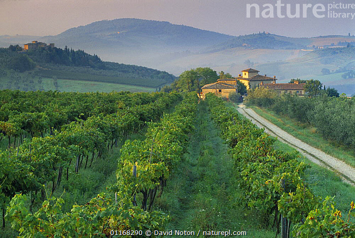 Grapevines and villa nr Barberino Val D'Elsa, Chianti, Tuscany, Italy  ,  BUILDINGS,COUNTRYSIDE,CROPS,EUROPE,HILLS,ITALY,LANDSCAPES,ROADS,VINES,VINEYARD  ,  David Noton