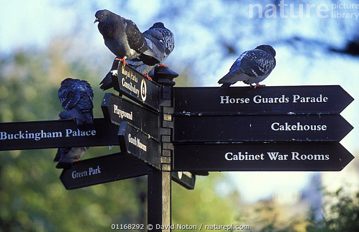 Pigeons perched on a signpost in St James Park, London, England, UK  ,  BIRDS,CITIES,EUROPE,GROUPS,LANDSCAPES,PIGEON,SIGNS,UK,URBAN,United Kingdom,British,ENGLAND  ,  David Noton