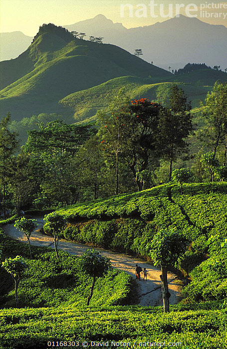 The Hill Country, nr Kandy, Sri Lanka  ,  ASIA,LANDSCAPES,MOUNTAINS,PEOPLE,ROADS,VERTICAL  ,  David Noton