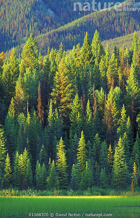 Pine trees, Dog Lake, Kootenay National Park, British Columbia, Canada  ,  CANADA,FORESTS,LANDSCAPES,NORTH AMERICA,PINES,TREES,VERTICAL,Plants,,Canadian Rocky Mountain Parks World Heritage Site, UNESCO World Heritage Site,Rocky Mountains,Rockies,  ,  David Noton