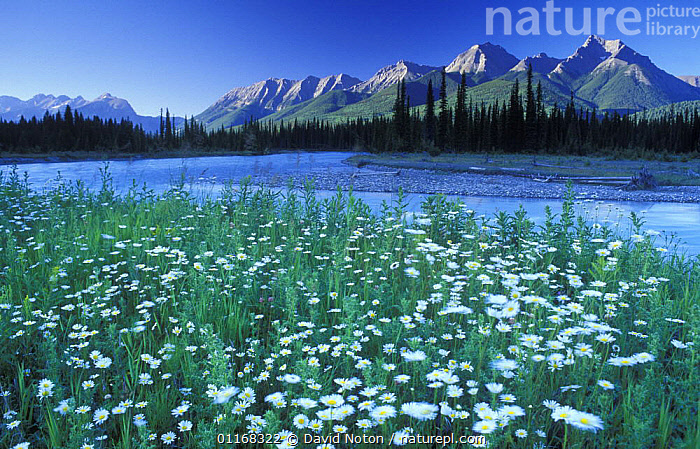 Kootenay River, Kootenay National Park, British Columbia, Canada  ,  CANADA,FLOWERS,FORESTS,LANDSCAPES,MOUNTAINS,NORTH AMERICA,RIVERS,TREES,WATER,Plants,,Canadian Rocky Mountain Parks World Heritage Site, UNESCO World Heritage Site,Rocky Mountains,Rockies,  ,  David Noton