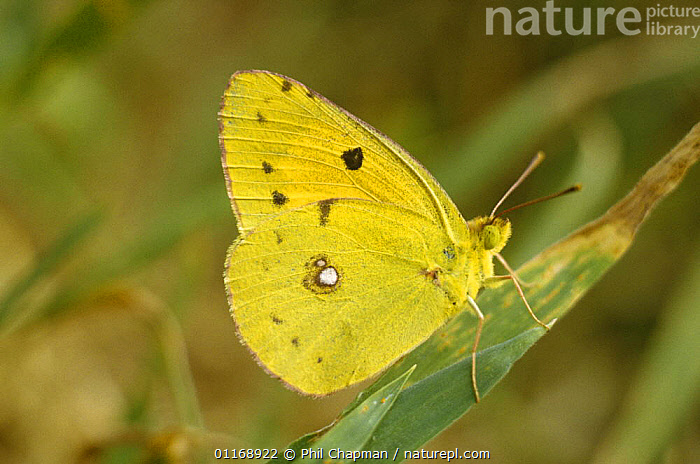 Clouded yellow butterfly (Colias crocea) UK  ,  ARTHROPODS,BUTTERFLIES,EUROPE,INSECTS,INVERTEBRATES,LEPIDOPTERA,UK,United Kingdom,British  ,  Phil Chapman