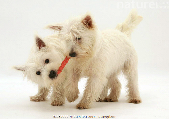 Nature Picture Library Two West Highland White Terrier