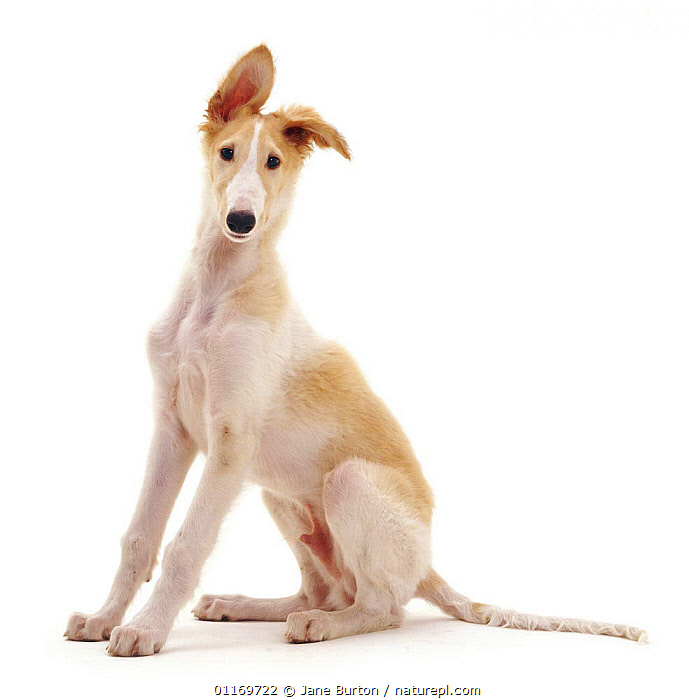 Borzoi pup, 10 weeks old, sitting with one ear perked up., BABIES,BABY,CUTE,CUTOUT,DOGS,HOUNDS,JUVENILE,PETS,PLAYFUL,PUPPIES,PUPPY,STUDIO,VERTEBRATES,Canids,,Cutout,White background,, Jane Burton