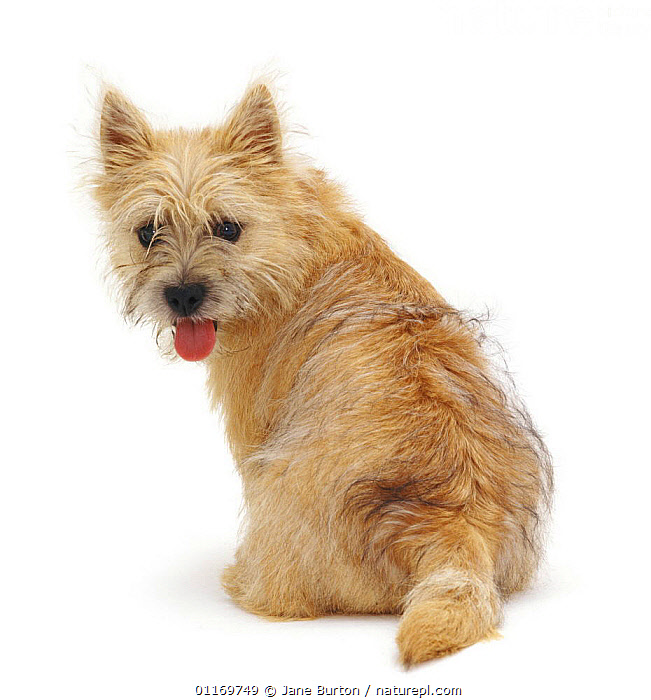 Back view of Cairn Terrier pup, 5 months old, looking over her shoulder.  ,  BABIES,BABY,CUTE,CUTOUT,DOGS,JUVENILE,PANTING,PETS,PUPPIES,PUPPY,STUDIO,TERRIERS,VERTEBRATES,Canids,,Cutout,White background,  ,  Jane Burton