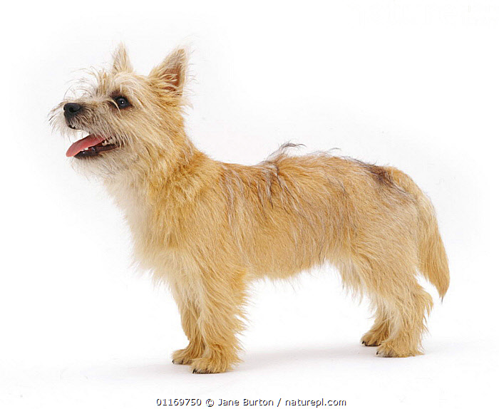 Cairn Terrier pup, 5 months old, standing.  ,  BABIES,BABY,CUTE,CUTOUT,DOGS,JUVENILE,PANTING,PETS,PUPPIES,PUPPY,STUDIO,VERTEBRATES,Canids,,Cutout,White background,  ,  Jane Burton