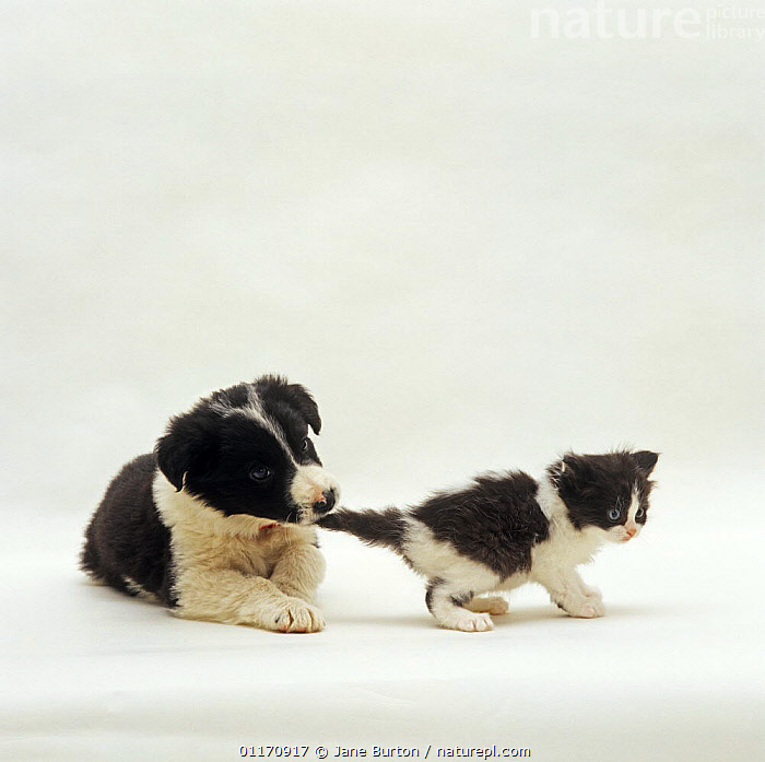 Border Collie pup Phoebe pulling black and white kitten's tail NOT AVAILABLE FOR BOOK USE  ,  BABIES,BABY,BITING,BLACK AND WHITE,CATS,COLOUR COORDINATED,CUTE,CUTOUT,DOGS,FRIENDS,FUNNY,JUVENILE,KITTENS,MIXED SPECIES,PASTORAL,PETS,PLAYING,PUPPIES,PUPPY,STUDIO,VERTEBRATES,Canids,,Cutout,White background,  ,  Jane Burton
