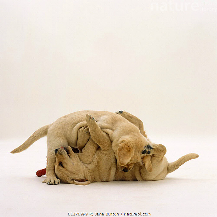 Nature Picture Library Two Yellow Labrador Retriever Pups
