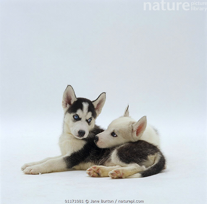 Nature Picture Library - Two Siberian Husky pups, 7 weeks