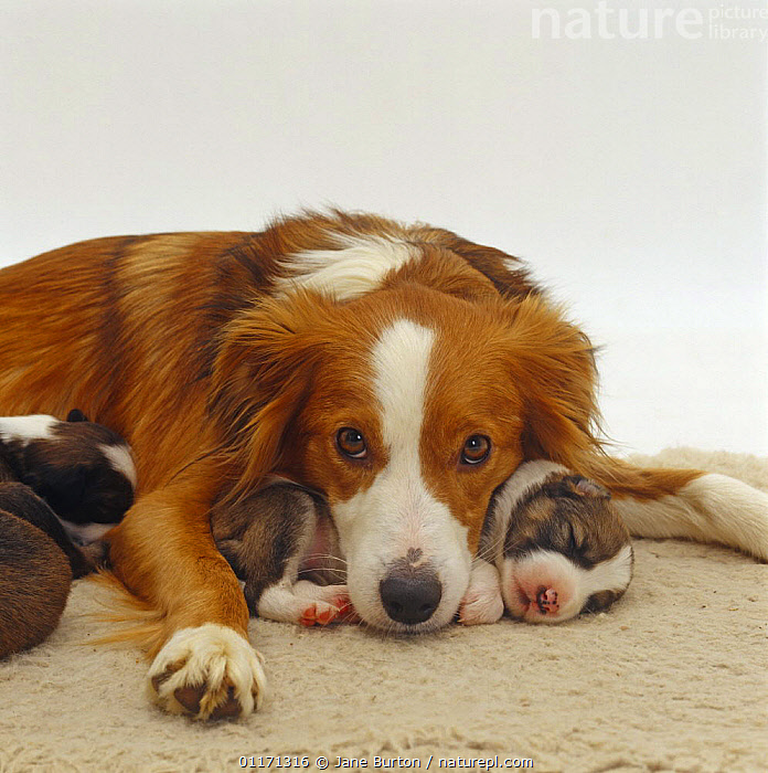 Sable Border Collie bitch, with chin on sleeping puppy  ,  BABIES,BABY,BITCH,CUTOUT,DOGS,FAMILIES,FEMALE,JUVENILE,LYING DOWN,MOTHER,PASTORAL,PETS,PORTRAITS,PUPPIES,PUPPY,SLEEPING,STUDIO,VERTEBRATES,Canids,,Cutout,White background,  ,  Jane Burton