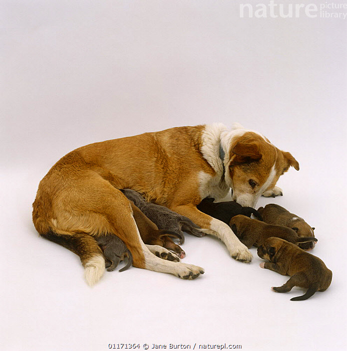 Unspeyed bitch has taken over her daughter's 4-day pups. Dogs phantom pregnancy coincided with the birth of her daughters pups, BABIES,BEHAVIOUR,BITCH,CARING,CUTE,CUTOUT,DOGS,FAMILIES,FEMALE,GRANDMOTHER,JUVENILE,MATERNAL,MOTHER,MOTHERING,PARENTAL,PETS,PUPPIES,SIBLINGS,STUDIO,VERTEBRATES,Canids,,Cutout,White background,, Jane Burton