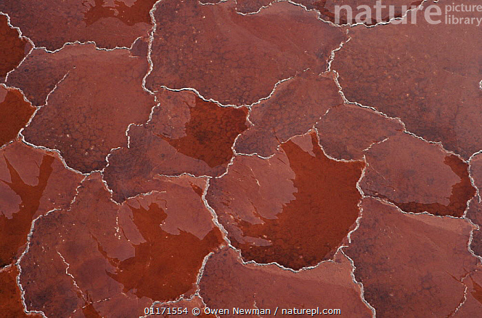 Soda crust on Lake Natron, Tanzania, coloured red by alkali cyanobacteria  ,  BACTERIA,EAST AFRICA,LAKES,MINERALS,PATTERNS,Africa,EAST-AFRICA  ,  Owen Newman