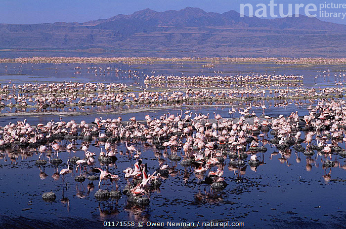 Nesting colony of Lesser Flamingo {Phoeniconaias minor} Lake Natron, Tanzania - Lesser flamingoes are threatened in East Africa and Lake Natron (their only breeding site) is now under threat from industrial pollution from Soda ash plant  ,  BIRDS,EAST AFRICA,FLAMINGOS,FLOCKS,GROUPS,LAKES,LANDSCAPES,MINERALS,NESTS,RIFT VALLEY,VERTEBRATES,Africa  ,  Owen Newman