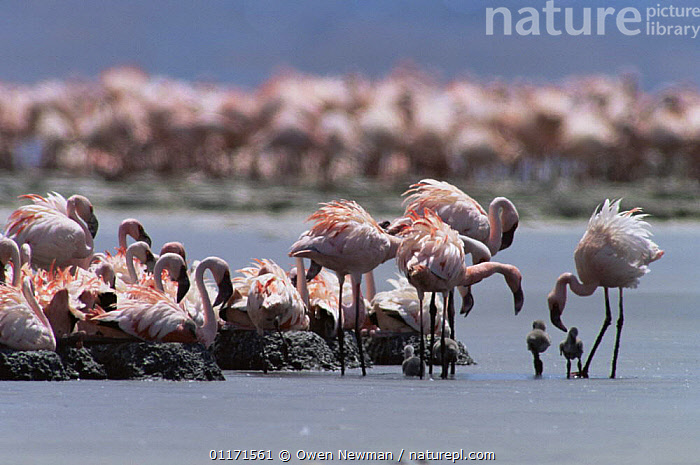 Adults with chicks at nesting colony of Lesser Flamingo {Phoeniconaias minor} Lake Natron, Tanzania - Lesser flamingoes are threatened in East Africa and Lake Natron (their only breeding site) is now under threat from industrial pollution from Soda ash plant  ,  BABIES,BIRDS,CHICK,EAST AFRICA,FLAMINGOS,FLOCKS,GROUPS,LAKES,MINERALS,NESTS,VERTEBRATES,Africa  ,  Owen Newman