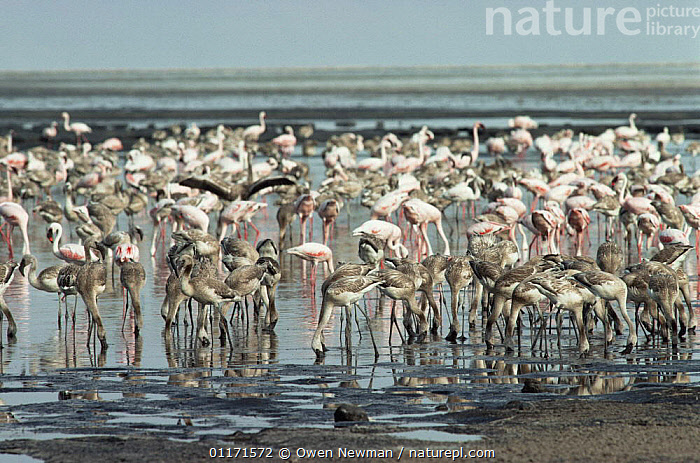Young Lesser flamingoes {Phoeniconaias minor} drinking freshwater on the shores of Lake Natron, Tanzania. Lesser flamingoes are threatened in East Africa and Lake Natron (their only breeding site) is now under threat from industrial pollution from Soda ash plant  ,  BEHAVIOUR,BIRDS,EAST AFRICA,FLAMINGOS,FLOCKS,GROUPS,JUVENILE,LAKES,MINERALS,VERTEBRATES,Africa  ,  Owen Newman