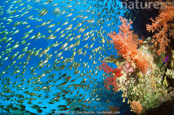 Glassy sweepers {Parapriacanthus guentheri} on coral reef, Red Sea, Egypt  ,  COLOURFUL, coral reefs, FISH, GROUPS, LANDSCAPES, MARINE, OSTEICHTHYES, red sea, SWEEPERS, TROPICAL, UNDERWATER, VERTEBRATES  ,  Dan Burton