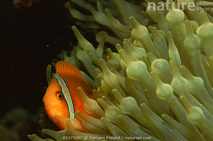 Red and black anemonefish {Amphiprion melanopus} resting amongst tentacles of Sea anemone, Philippines  ,  CLOWNFISH,DAMSELFISH,FISH,INDO PACIFIC,MARINE,OSTEICHTHYES,SYMBIOSIS,TROPICAL,UNDERWATER,VERTEBRATES,Concepts,Partnership, Partnership,SOUTH-EAST-ASIA,Asia  ,  Jurgen Freund