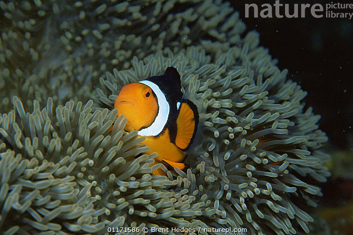 Clown anemonefish {Amphiprion percula} amongst tentacles of Sea anemone, Coral Sea, Australia  ,  DAMSELFISH,FISH,INDO PACIFIC,MARINE,OSTEICHTHYES,SYMBIOSIS,TROPICAL,UNDERWATER,VERTEBRATES,Concepts,Partnership, Partnership  ,  Brent Hedges
