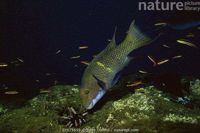 Streamer hogfish {Bodianus diplotaenia} investigating sea  urchin, Galapagos  ,  FISH,MARINE,OSTEICHTHYES,PACIFIC,SEA URCHIN,TROPICAL,UNDERWATER,VERTEBRATES,WRASSE  ,  Pete Oxford