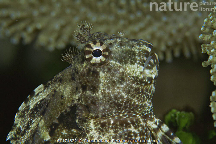 Jewelled blenny {Salarias fasciatus} Sulawesi, Indonesia  ,  BLENNIES,EYES,FISH,MARINE,OSTEICHTHYES,PORTRAITS,TROPICAL,UNDERWATER,VERTEBRATES  ,  Constantinos Petrinos