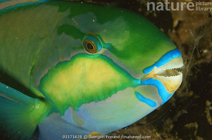 Close up of Parrotfish {Scarus sp} head showing mouth with 'beak', Indo pacific  ,  FACES,FISH,MARINE,MOUTHS,OSTEICHTHYES,PARROTFISH,PORTRAITS,TEETH,TROPICAL,UNDERWATER,VERTEBRATES  ,  Jurgen Freund