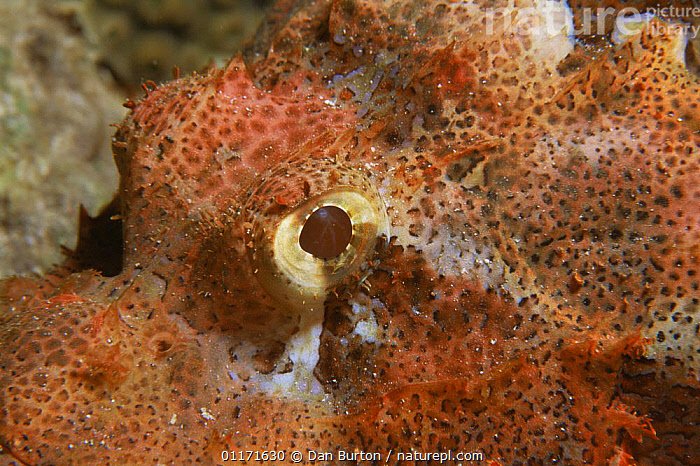 Close up of head of Tassled scorpionfish {Scorpaenopsis oxycephala} Red Sea  ,  CLOSE UPS,EYES,FISH,MARINE,OSTEICHTHYES,SCORPIONFISH,TROPICAL,UNDERWATER,VERTEBRATES  ,  Dan Burton