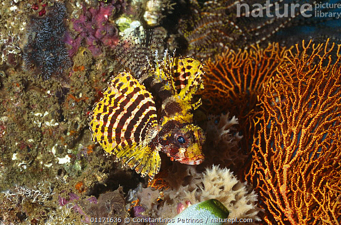 Shortfin lionfish (Dendrochirus brachypterus) rare yellow variant, Sulawesi, Indonesia  ,  CORAL REEFS,FISH,INDO PACIFIC,LIONFISH,MARINE,OSTEICHTHYES,SOUTH EAST ASIA,TROPICAL,TROPICS,UNDERWATER,VERTEBRATES,Asia  ,  Constantinos Petrinos