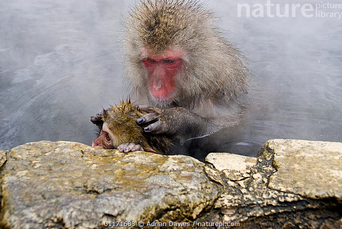 Japanese Macaque {Macaca fuscata} adult grooming juvenile in hot thermal pool, Jigokudani, Japan  ,  ASIA,BATHING,BEHAVIOUR,FAMILIES,JAPAN,MACAQUES,MAMMALS,MONKEYS,PRIMATES,SNOW MONKEY,STEAM,THERMOREGULATION,VERTEBRATES  ,  Adrian Davies
