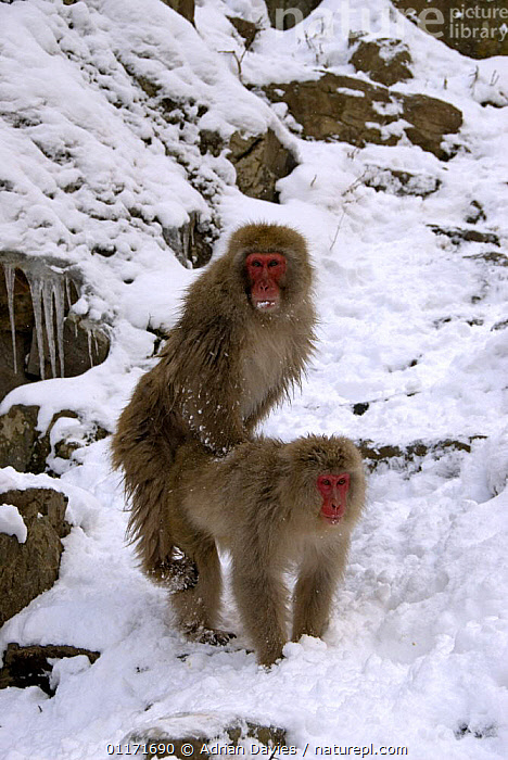 Japanese Macaque {Macaca fuscata} adults mating, Jigokudani, Japan  ,  ASIA,COPULATION,JAPAN,MACAQUES,MALE FEMALE PAIR,MAMMALS,MATING BEHAVIOUR,MONKEYS,PRIMATES,SNOW MONKEY,VERTEBRATES,VERTICAL,WINTER,Reproduction  ,  Adrian Davies