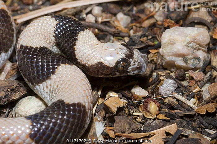 Saddled Leaf-nosed Snake (Phyllorhynchus browni) Arizona, USA  ,  COLUBRIDS,LEAFNOSED,NORTH AMERICA,REPTILES,SNAKES,STRIPED,STRIPES,USA,VERTEBRATES  ,  Barry Mansell