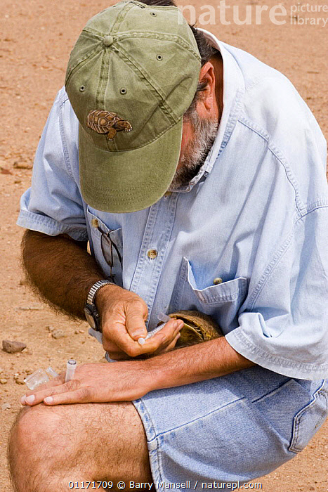Blood being drawn from Box Turtle for research in DNA of reptiles, Paul Moler, Florida Fish and Game in Arizona, USA. July 2006  ,  DESERTS,NORTH AMERICA,PEOPLE,RESERACH,USA,VERTICAL  ,  Barry Mansell