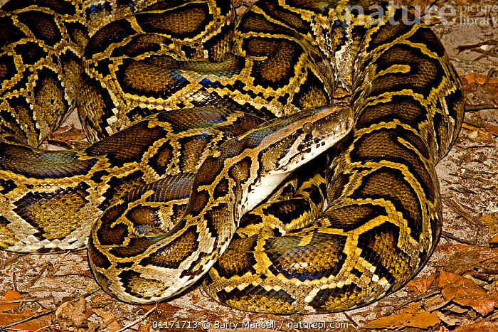 Burmese Python (Python molurus bivittatus) Range Burma and East Indies, and introduced into the Everglades by release of pets, Florida, USA  ,  north america, REPTILES, Snake, SNAKES, CONSTRICTORS, introduction, PYTHONS, USA, VERTEBRATES  ,  Barry Mansell