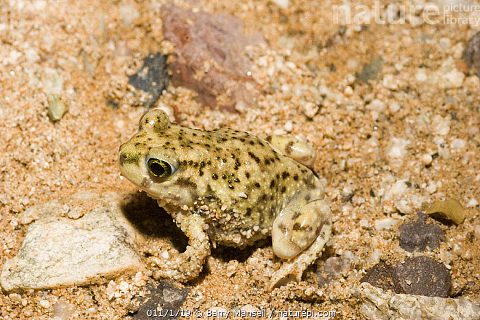 Couch Spadefoot Toad (Scaphiopus couchii) Arizona, USA  ,  AMPHIBIANS,ANURA,DESERTS,NORTH AMERICA,SPADEFOOT TOADS,TOADS,USA,VERTEBRATES  ,  Barry Mansell