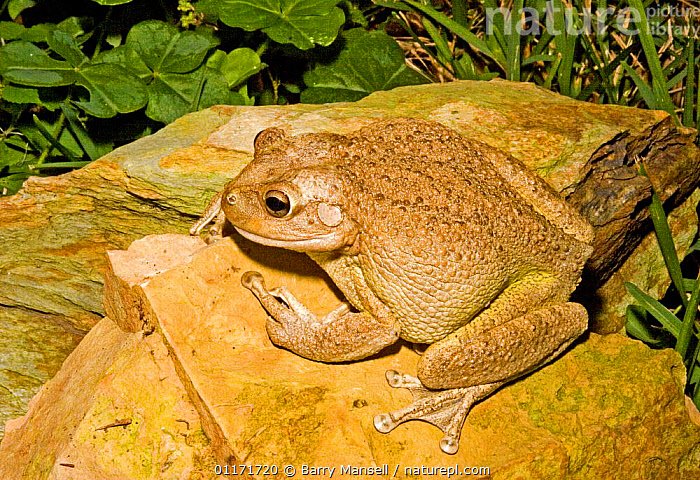 Cuban Tree frog (Osteopilus septentrionalis) from Cuba and West Indies, and introduced to Florida, USA  ,  AMPHIBIANS,ANURA,FROGS,INTRODUCTION,NORTH AMERICA,TREE FROGS,USA,VERTEBRATES  ,  Barry Mansell