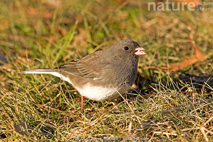 Dark-eyed Junco (Junco hyemalis) Slate-colored race, feeding, North Carolina, USA  ,  BIRDS,NORTH AMERICA,SPARROWS,USA,VERTEBRATES  ,  Barry Mansell