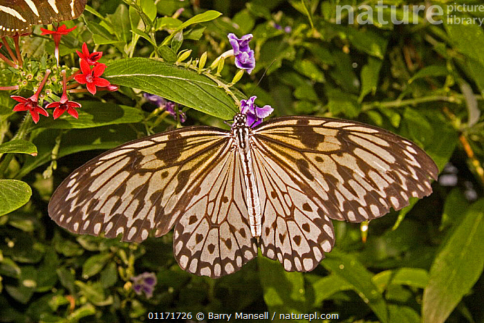 """Paper kite / Large tree nymph butterfly (Idea leuconoe) 6"""" wing span, captive, from Thailand to Malaysia,, ARTHROPODS, ASIA, BUTTERFLIES, INSECTS, INVERTEBRATES, LARGE, LEPIDOPTERA, SIZE, Barry Mansell"""