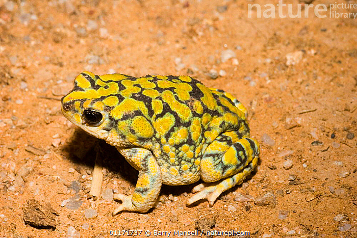 Sonoran green toad {Bufo retiformis} Upland Desertscrub, Arizona, USA  ,  AMPHIBIANS, north america, PATTERNS, SKIN, USA, VERTEBRATES, Anura, DESERTS, TOADS, YELLOW  ,  Barry Mansell
