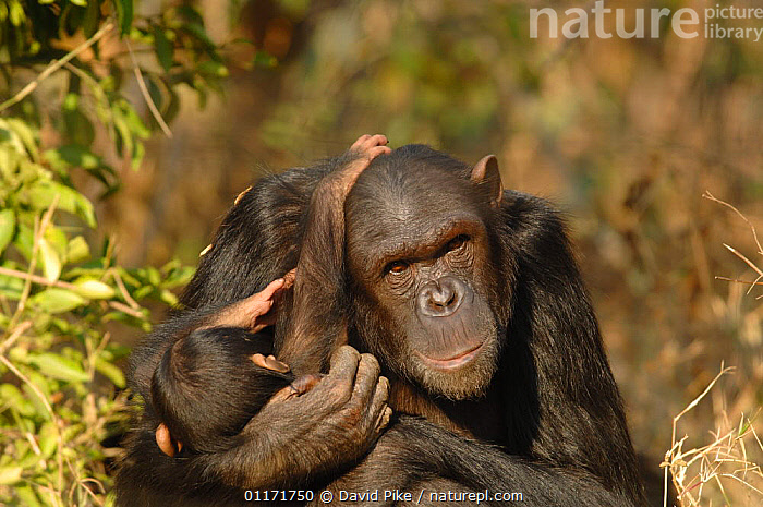 Chimpanzee {Pan troglodytes} adult with juvenile, captive, Chimfunshi wildlife orphanage, Zambia  ,  AFFECTION,CAPTIVE,CHIMP ,CHIMPS,CUDDLING,FAMILIES,GREAT APES,MAMMALS,PRIMATES,REHABILITATION,RESERVE,SOUTHERN AFRICA,VERTEBRATES,ZAMBIA  ,  David Pike