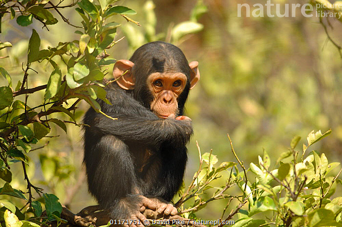 Chimpanzee {Pan troglodytes} juvenile looking vulnerable, captive, Chimfunshi wildlife orphanage, Zambia  ,  CAPTIVE,CHIMP ,GREAT APES,MAMMALS,PRIMATES,REHABILITATION,RESERVE,SOUTHERN AFRICA,VERTEBRATES,ZAMBIA  ,  David Pike