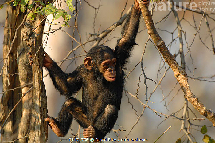 Chimpanzee {Pan troglodytes} juvenile moving through tree canopy, captive, Chimfunshi wildlife orphanage, Zambia  ,  CHIMP ,GREAT APES,MAMMALS,MOVEMENT,PRIMATES,REHABILITATION,RESERVE,SOUTHERN AFRICA,VERTEBRATES,WILDLIFE,ZAMBIA  ,  David Pike