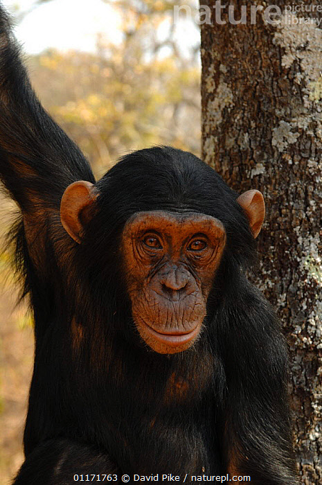 Chimpanzee {Pan troglodytes} captive, Chimfunshi wildlife orphanage, Zambia  ,  CHIMP ,FACES,GREAT APES,MAMMALS,PORTRAITS,PRIMATES,REHABILITATION,RESERVE,SOUTHERN AFRICA,VERTEBRATES,VERTICAL,ZAMBIA  ,  David Pike